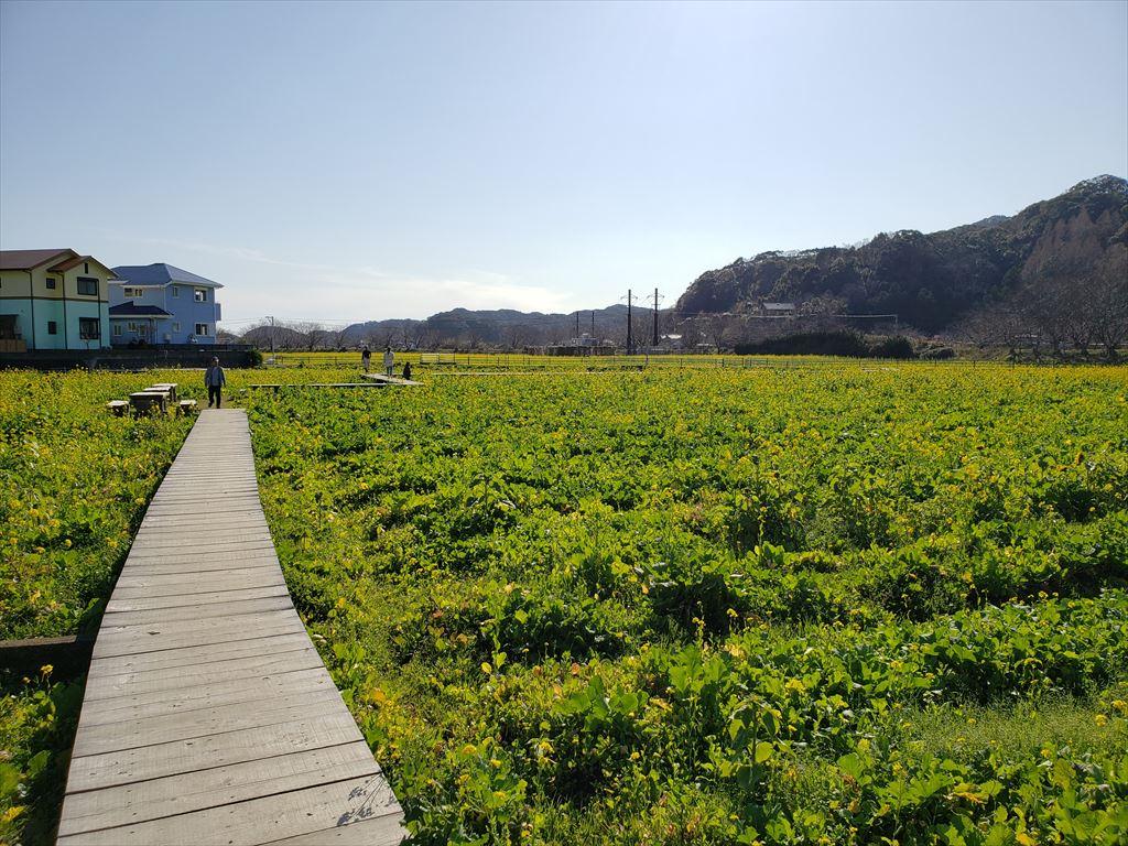 南伊豆は菜の花畑が満開です。