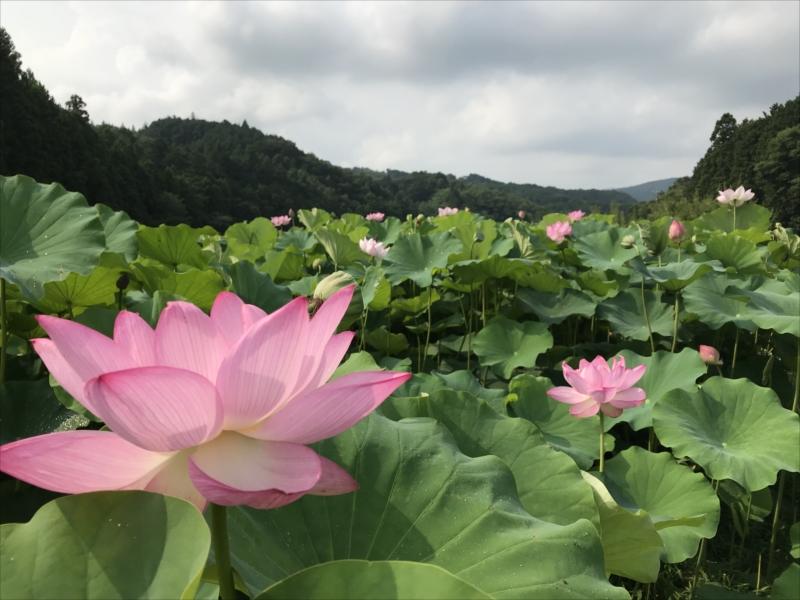 休耕田の蓮の花