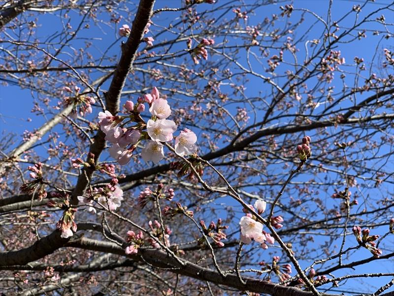 2019年・桜が開花しました!