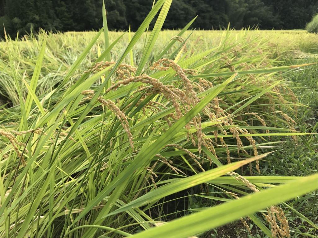 2019年の稲刈り