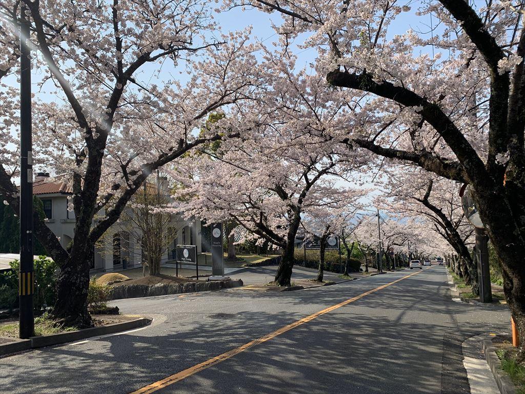 桜並木NOW!